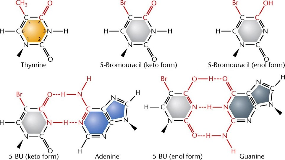 5-bromouracil (5-BU) ia a derivative of uracil and behaves as a thymine analog, which increases the probability of a tautomeric shift from the normal keto form to the enol form, mis-pairing with guanine instead of adenine. After one round of replication, an A - T to G - C transition mutation results.