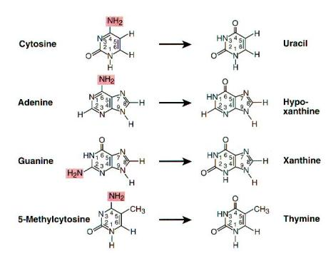 Deamination of Bases